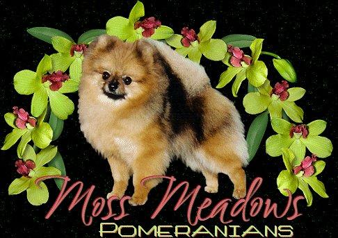 Pomeranians From Moss Pomeranians
